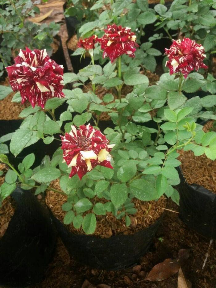 Jual Tanaman Bunga Mawar Batik Pohon Mawar Batik Bunga Rose Kab Bogor Aura Floris Tokopedia