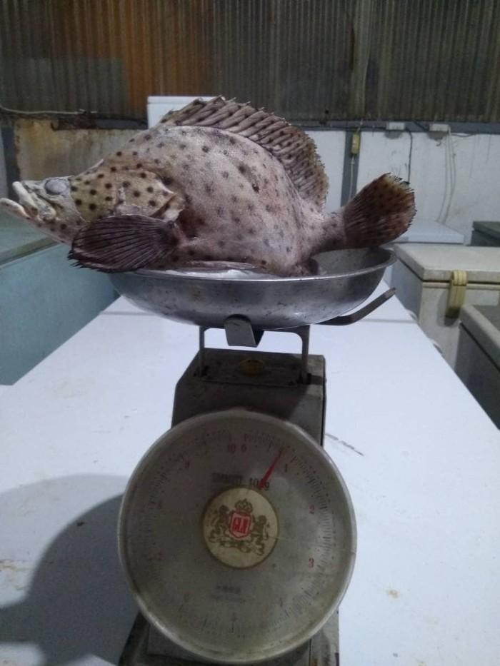 Info Ikan Kerapu DaftarHarga.Pw