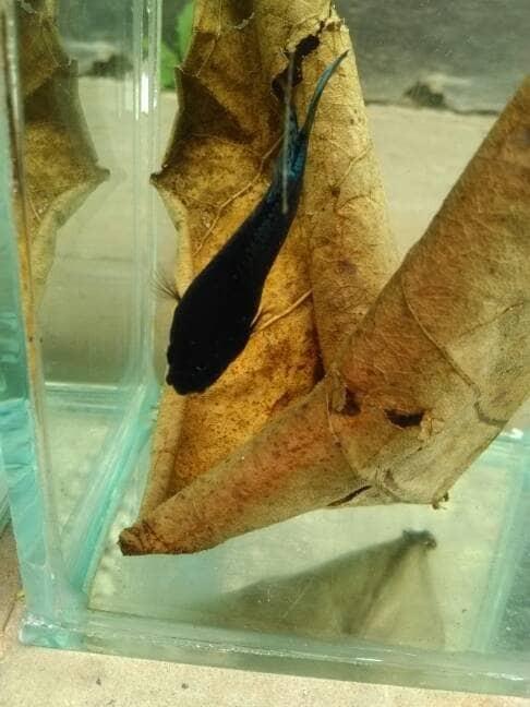 Jual betta fish bagan fighter cupang adu - Kab  Bandung Barat - Betta Fish  Cupang Beta | Tokopedia