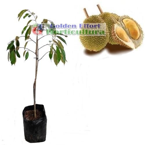 harga Durian monthong  60-70cm Tokopedia.com