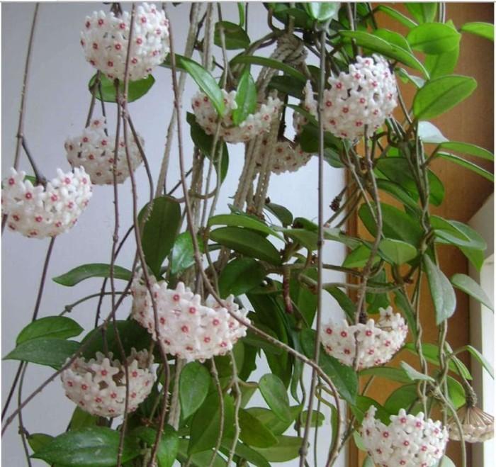 harga Bibit tanaman bunga hias anggrek hoya Tokopedia.com