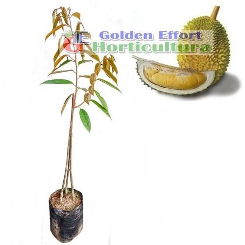 harga Durian musangking kaki 3  70-80cm Tokopedia.com