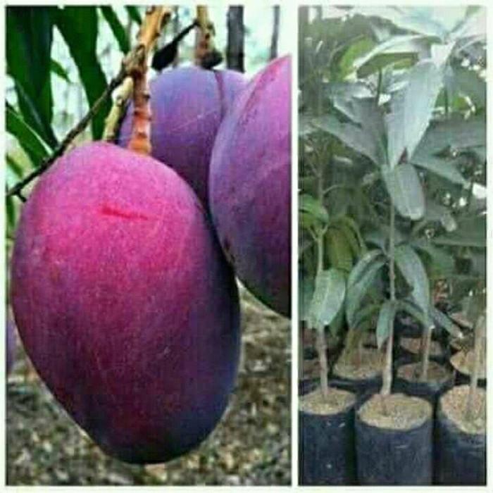 Bibit Tanaman buah mangga irwin.. (buah ungu)