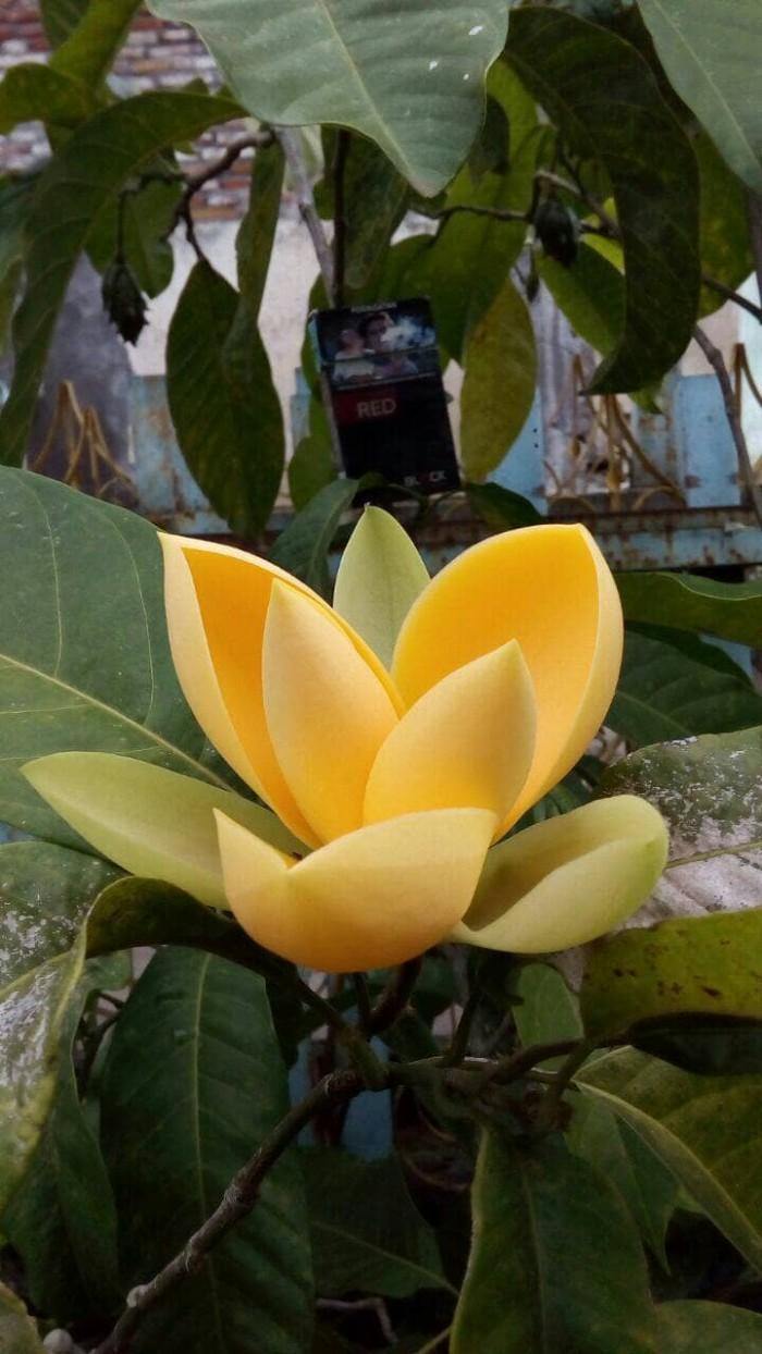 Jual Bibit Bunga Cempaka Gondok Kuning Kota Batu RB Garden