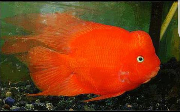 Jual ikan kingkong parrot betina Harga MURAH \u0026 Beli Dari Toko Online | PriceArea.com