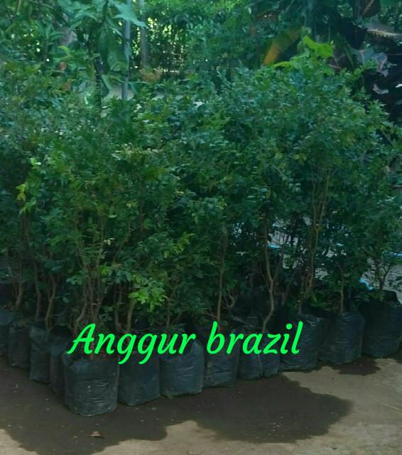 Bibit angur brasil super | Grosir Bibit Tanaman