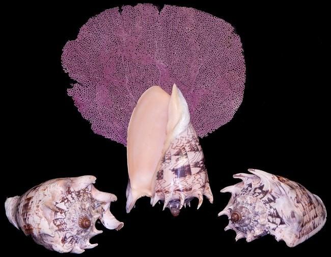 harga Voluta imperialis kerang laut (seashell) kualitas pilihan (import)! Tokopedia.com