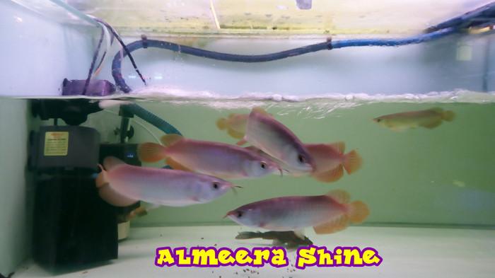 harga Ikan arwana / arowana super red 20-22 cm up serti & chip Tokopedia.com