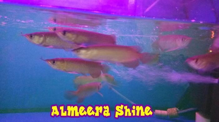 harga Ikan arwana / arowana super red 13-15 cm up serti & chip Tokopedia.com