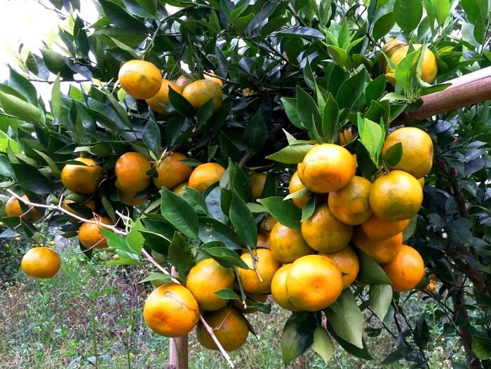 Foto Produk jual bibit jeruk siam unggul murah dari ebibit unggul