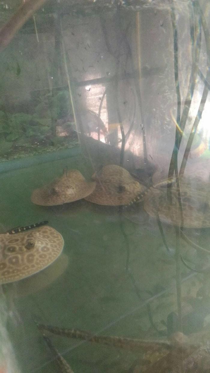 Jual Ikan Pari Air Tawar Jenis King Size 4 Inc Khusus Gojek Isi 1psg 2pcs Jakarta Barat Sadil