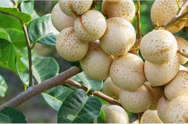 harga Bibit kelengkeng aroma durian stek atau okulasi cepat berbuah Tokopedia.com