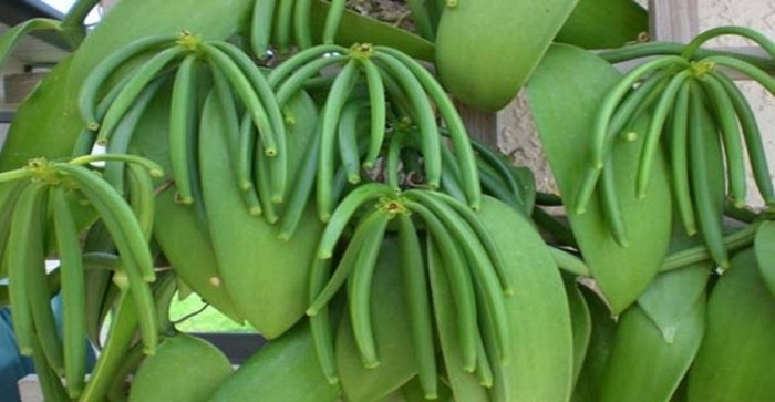 Foto Produk bibit buah vanili panili dari ebibit unggul