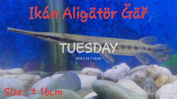 harga Ikan aligator gar/ikan predator/ikan hias/ikan aquarium Tokopedia.com
