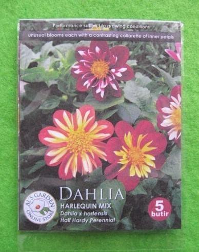 Download 87 Gambar Bunga Dahlia Terbaik HD Gratid