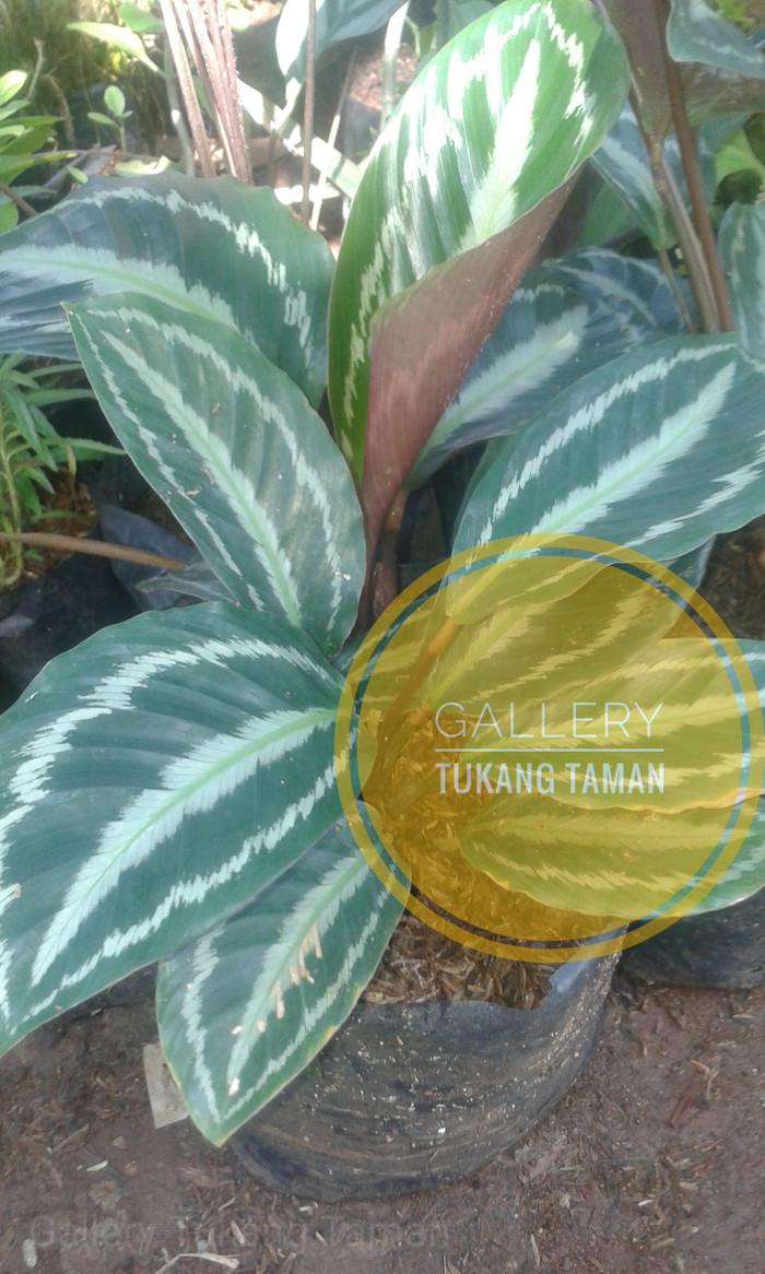 Jual Tanaman Calathea Silverbeck Pohon Calathea Kab Bogor Gallery Tukang Taman