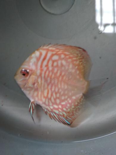 harga Ikan discus pigeon tiger 2  up Tokopedia.com