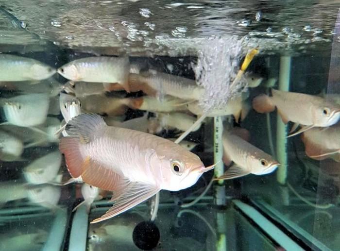 harga Ikan arwana golden red Tokopedia.com