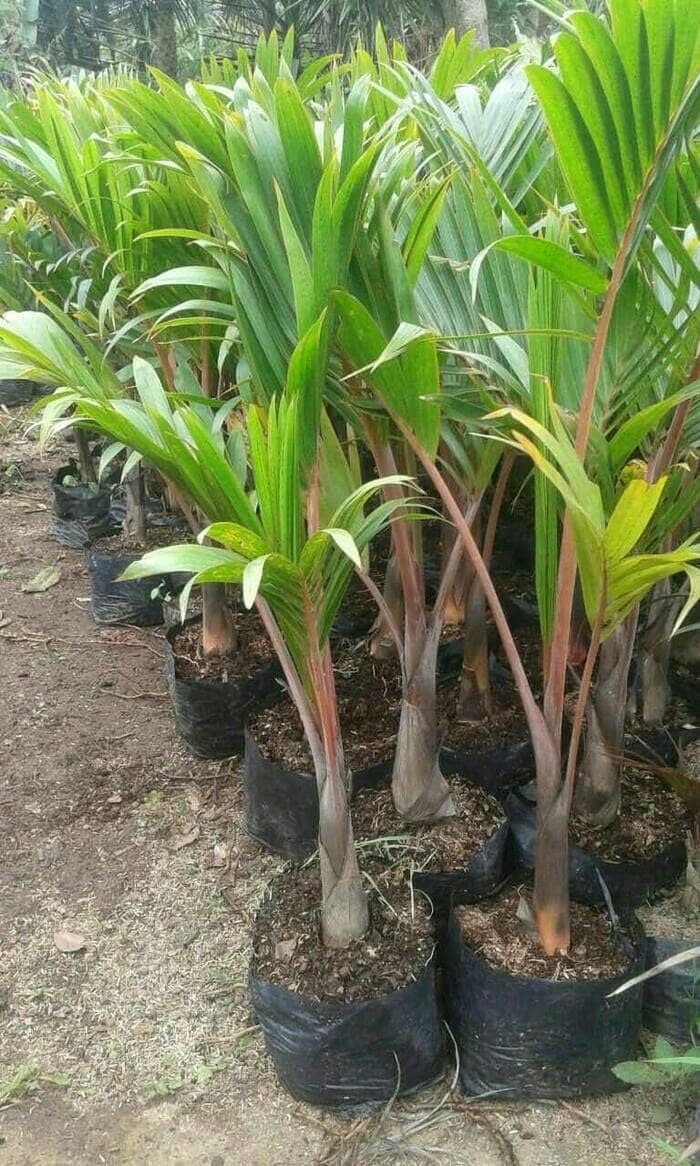 Jual Bibit Pohon Palem Botol Unik Kota Semarang Taman Bibit Murah