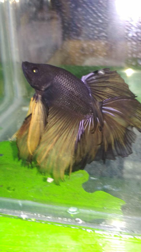 harga Ikan hias cupang half moon hitam kuning size xl Tokopedia.com