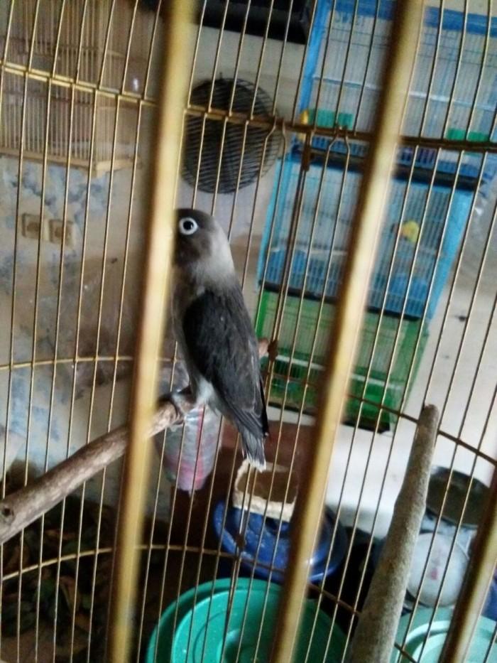 harga Burung lovebird lb batman betmen baby paud bahan murah pengepul Tokopedia.com