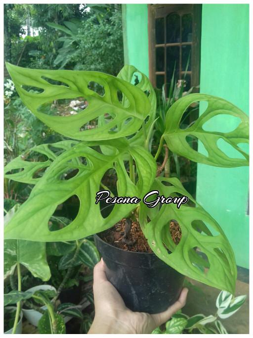 Jual Tanaman Monstera Obliqua Tanaman Janda Bolong Philodendron Swiss Pot Kab Bogor Pesona Tanaman Tokopedia
