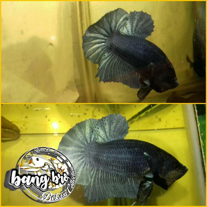 Jual Ikan Cupang Hmpk Blue Solid Kota Bekasi Bangbro Bfs Tokopedia
