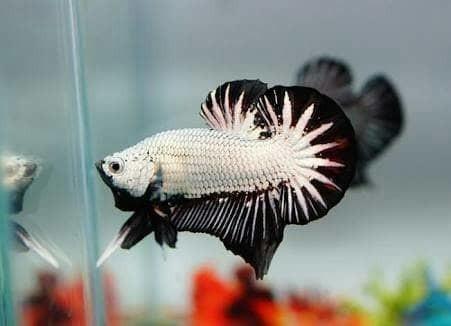 harga Ikan cupang bagan black dragon medan plakat serit halfmoon aquascape Tokopedia.com