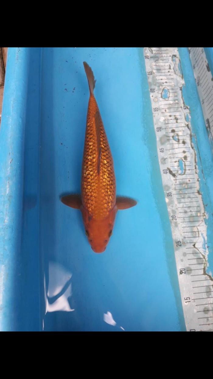 Jual Ikan Koi Chagoi Kab Bogor Hariskoi