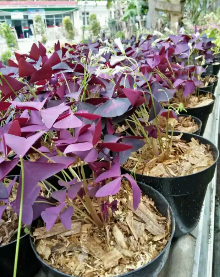 Jual Tanaman Hias Daun Kupu Kupu Purple Shamrock Oxalis Kab Bogor Aquascape Shop Tokopedia