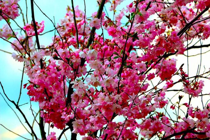 Jual Bibit Bunga Sakura Pohon Bunga Pink Kab Bogor Sugar