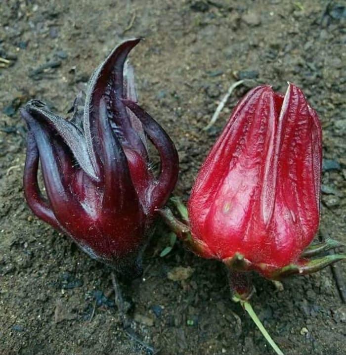 Jual Promo Bibit Tanaman Unggul 5 Ons Benih Biji Bunga Rosella Merah Herbal Kota Surabaya Pusat Jual Tanaman Tokopedia