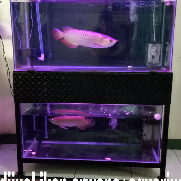 Jual Ikan Arwana Sr Plus Aquarium Kab Bekasi Cendan3 Tokopedia