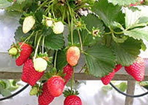 Bibit Tanaman Buah Stroberi - Bibit Strawberry merah Siap Tanam