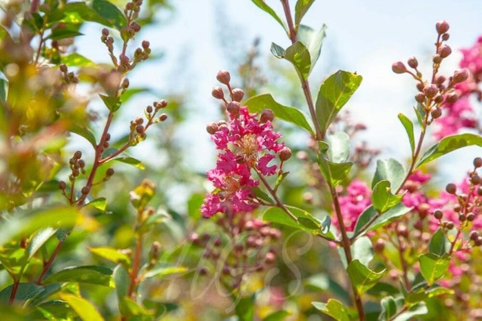 Bibit Tanaman Bunga Hias Sakura Tropis Hybrid
