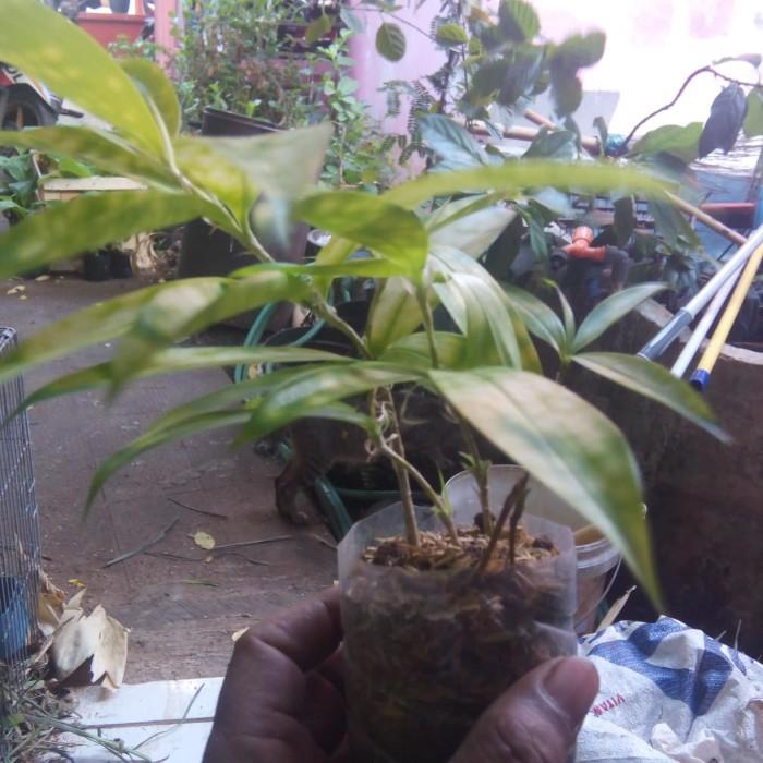 Jual Dracaena Green Bambu Jepang Hijau Benih Bibit Tanaman Pohon Hias Jakarta Selatan Wk Multimedia Tokopedia