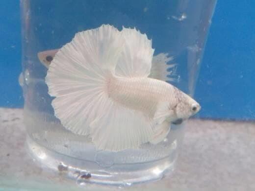 Jual New Ikan Cupang Hias Halfmoon White Platinum Kota Denpasar Caridad Burkholder Tokopedia