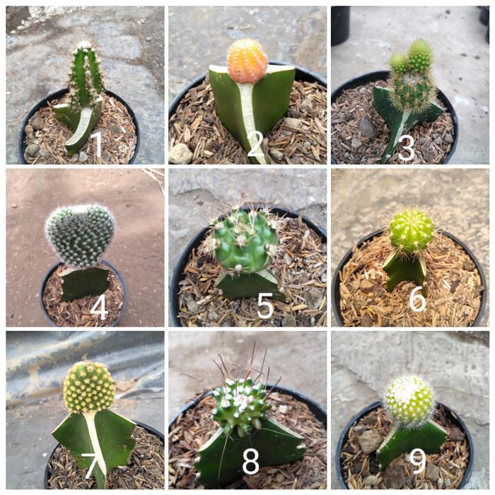 Jual Kaktus Mini Warna Warni Kab Bandung Barat Cactussucculent Tokopedia