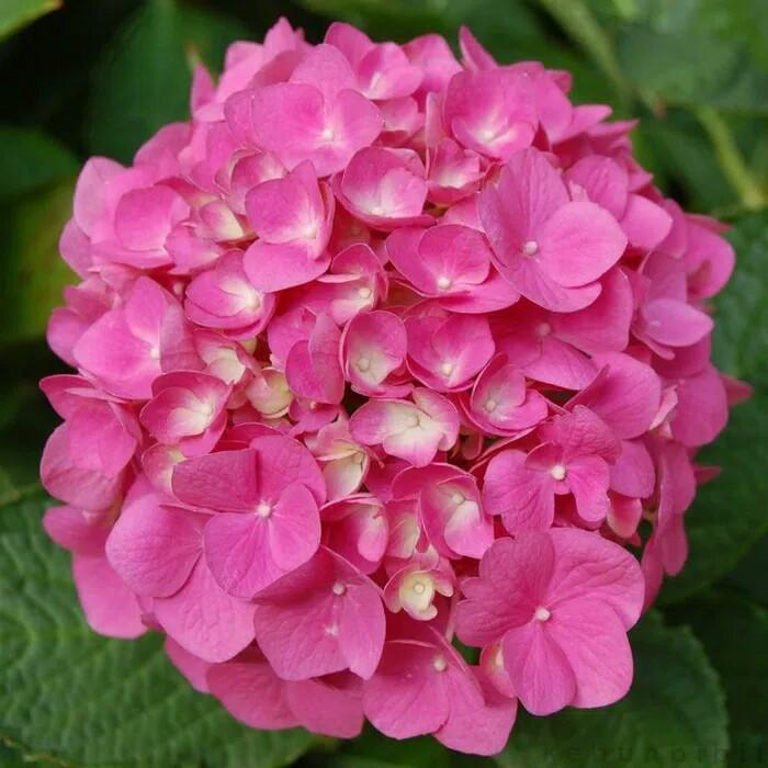 Jual Tanaman Hias Bunga Hortensia Pink Pancawarna Pink Hydrangea Pink Kab Malang Arjuna Flower Tokopedia