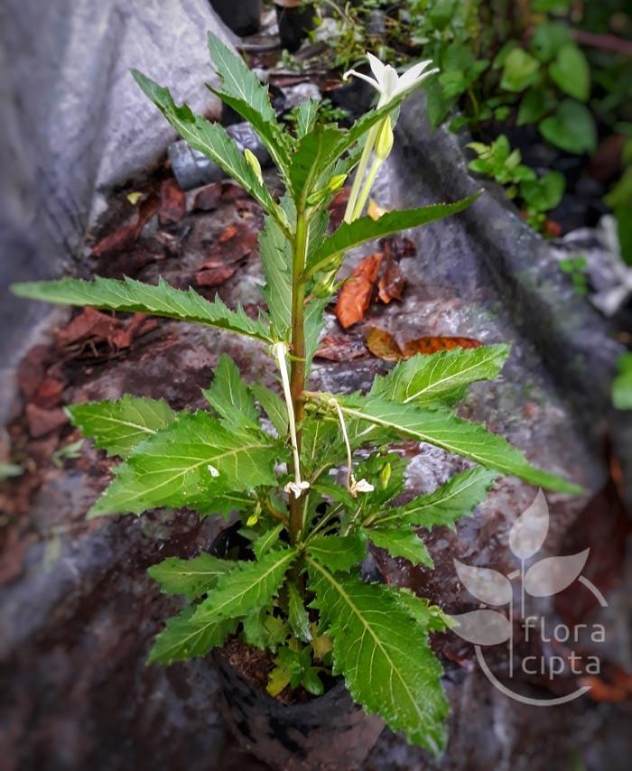Bibit bunga kitolod/kitolo / Tanaman Herbal. Murah, Unggul