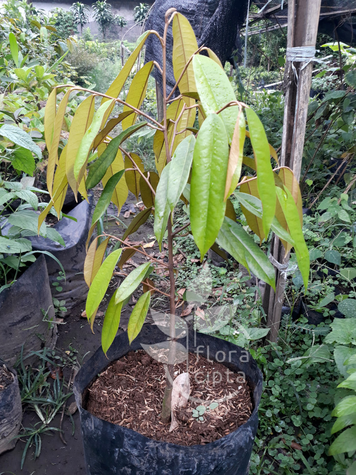 75 Gambar Pohon Durian Terbaik
