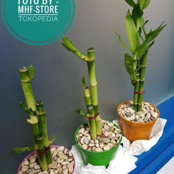 Jual Tanaman Hias Sri Rejeki Bambu Hoki Jakarta Barat Mhf Store Tokopedia