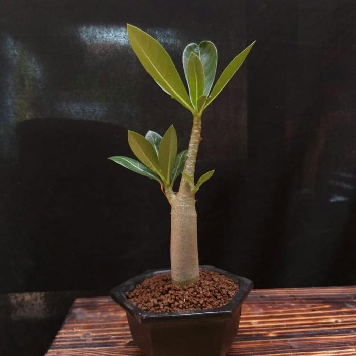 Jual Mame Bonsai Adenium Arabicum Mkmk Kamboja Jepang Dki Jakarta Riyasyul Tokopedia