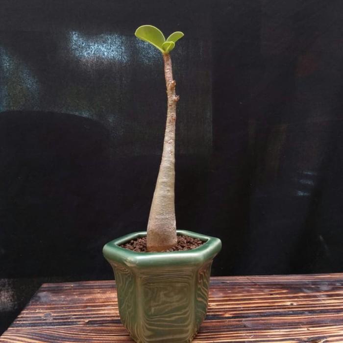 Jual Mini Bonsai Black Adenium Kamboja Jepang Pot Kramik Dki Jakarta Riyasyul Tokopedia