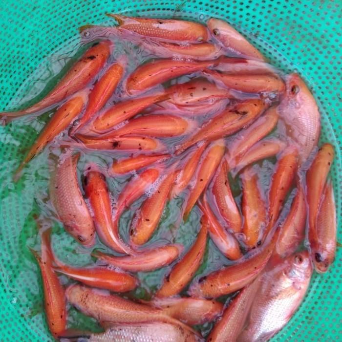 Harga Jual Bibit Ikan Nila Merah Rp 600