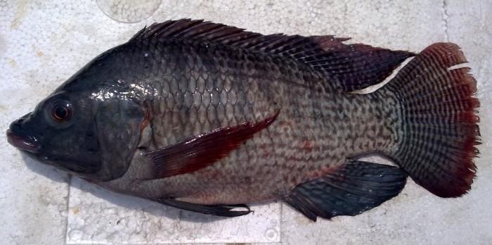 Jual Ikan Nila Hitam Segar Fresh Black Nile Tilapia Fish Jakarta Barat Steven Daging Babi Segar Tokopedia