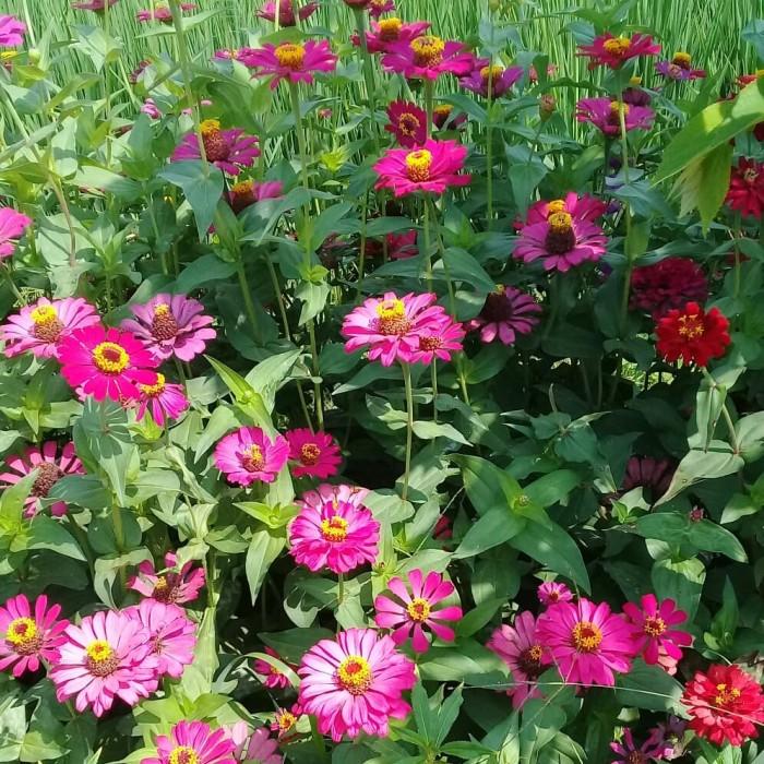 Jual Bibit Bunga Bunga Jadul Langka Benih Bunga 20 Benih Tanaman Hias Taman Kab Sleman Anekabarangrosir Tokopedia