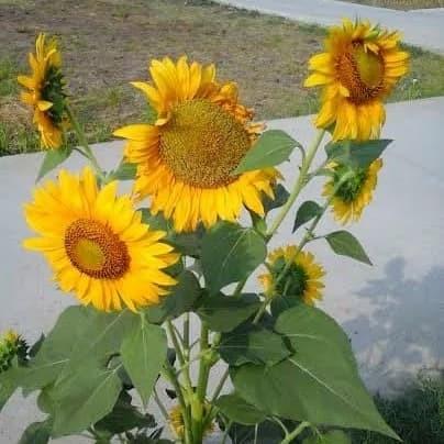 Contoh Gambar Bunga Sunflower Ragam Motif