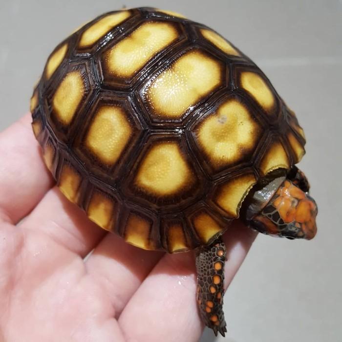 harga Kura-kura darat cherry head tortoise Tokopedia.com