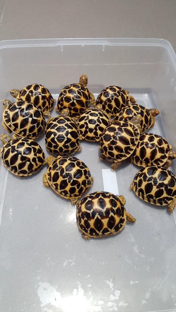 harga Kura-kura darat indian star tortoise Tokopedia.com